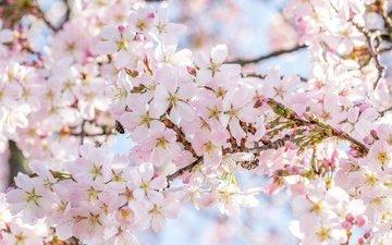 дерево, цветение, весна, сакура