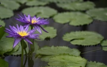 вода, цветение, листья, водоем, кувшинка, водяные лилии