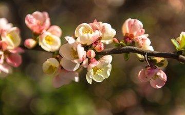 цветы, ветка, цветение, весна, нежность