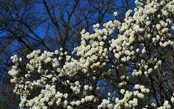 цветы, дерево, цветение, весна, магнолия