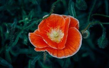 flower, petals, mac