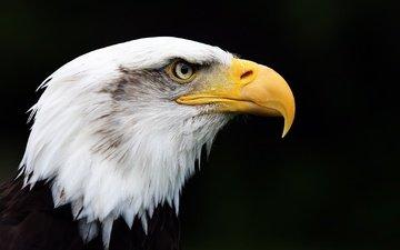 орел, птица, клюв, черный фон, перья, белоголовый орлан