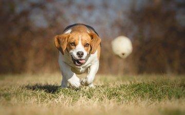 трава, природа, парк, собака, игра, прогулка, мяч, боке, гончая, бигль