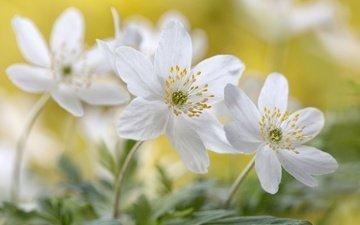 цветы, макро, белые, анемоны