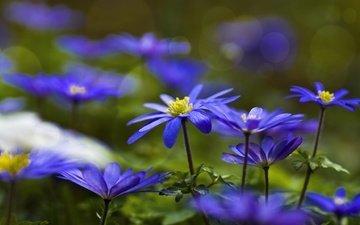 цветы, синие, анемоны, ветреница