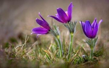 цветы, весна, подснежники, анемоны, сон-трава, прострел