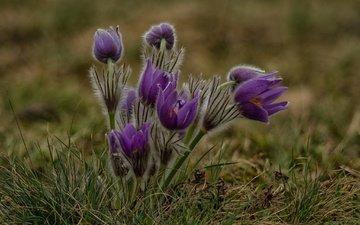 цветы, подснежники, анемоны, лиловые, сон-трава, прострел