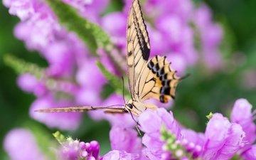 макро, насекомое, цветок, бабочка