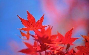 небо, листья, осень, клен, багрянец