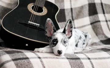 guitar, dog, puppy, the border collie
