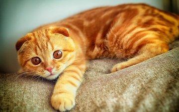 глаза, кот, кошка, ушки, рыжий, вислоухий, шотландская вислоухая
