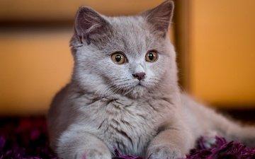 кошка, взгляд, котенок, дом, уют