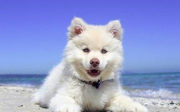 собака, щенок, финский лаппхунд, лопарская лайка