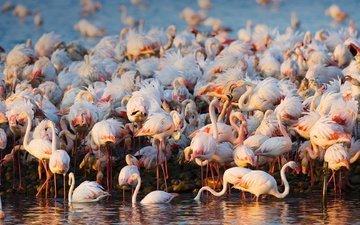 вода, фламинго, птицы, стая
