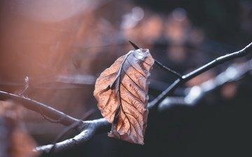 ветка, природа, фон, осень, лист