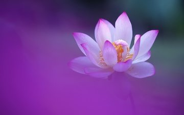 background, flower, petals, lotus