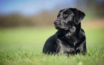 grass, background, black, dog, labrador retriever