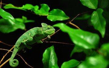 листья, листва, ящерица, черный фон, хамелеон, рептилия