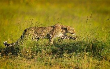 леопард, хищник, крадётся