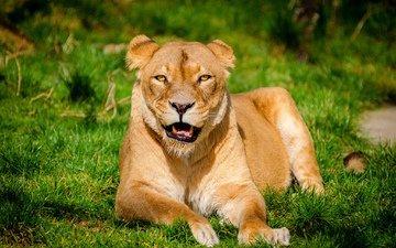 трава, хищник, лев, львица