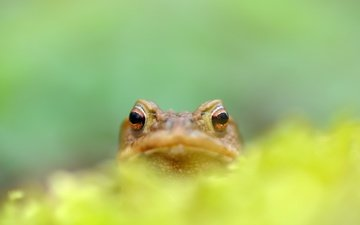 природа, фон, лягушка