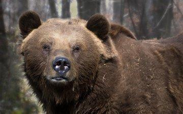 природа, фон, медведь