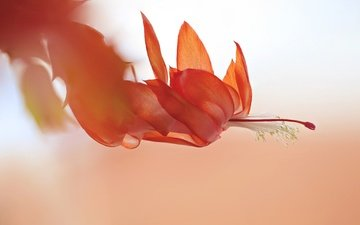 природа, макро, цветок, лепестки, пестик, нежность