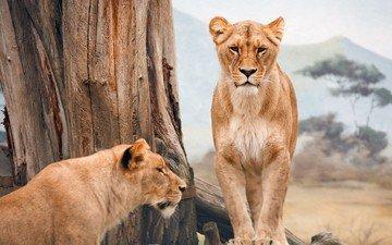 природа, животные, львы, лев, большие кошки