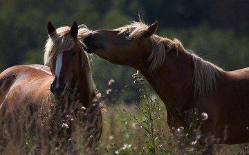 лошадь, природа, животные, лошади