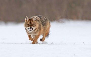 снег, зима, хищник, оскал, бег, волк