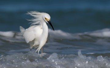 вода, птица, белая, цапля, snowyegret