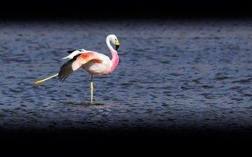 озеро, фламинго, птица