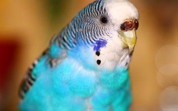 птица, попугай, пестрый, волнистый попугай
