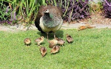трава, птицы, павлин, газон, птенцы, цыплята