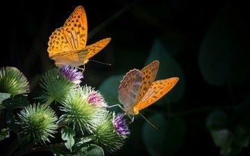 природа, бабочка, насекомые, черный фон, бабочки, растение