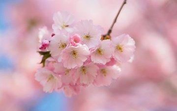 природа, лепестки, сад, весна, соцветие