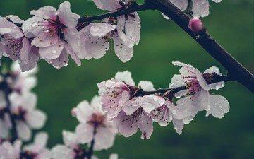 цветы, цветение, капли, лепестки, весна