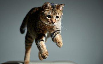 морда, кот, кошка, взгляд, прыжок, животное