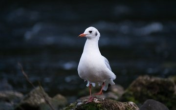 природа, камни, чайка, птица