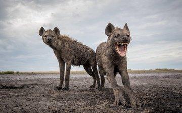 животные, африка, гиены