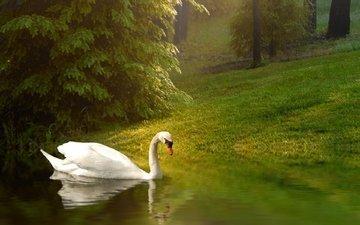 трава, водоем, птица, пруд, лебедь