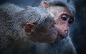 животные, ушки, обезьяна, примат, обезьяны, макака, selvan tamilmani
