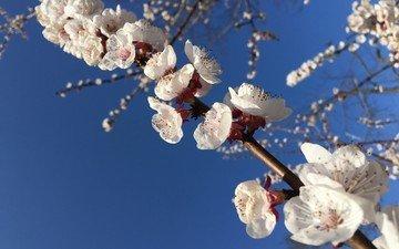 небо, природа, цветение, весна, белые цветы