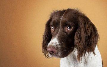 глаза, мордочка, взгляд, собака, спаниель, мордочка.взгляд