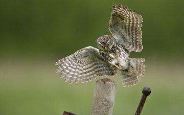 сова, полет, крылья, птица