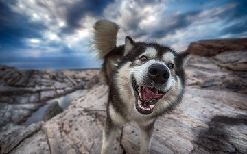 face, nature, dog, husky, language, tail