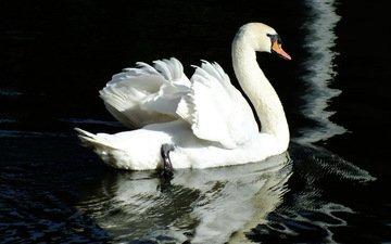 вода, отражение, птица, лебедь