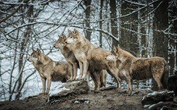 природа, животные, хищник, волки, волк