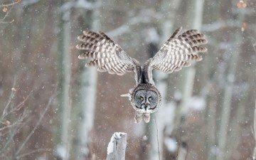 сова, снег, природа, зима, полет, крылья, птица, бородатая неясыть, неясыть