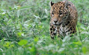 трава, животные, кусты, леопард, большая кошка, большая кошкка